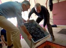 Participation aux vendanges pour nos parrains de pieds de vigne